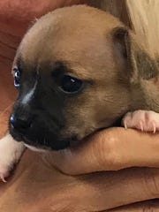 This puppy will go home with the top bidder. The auction is sponsored by Dr. Chuck Stewart of Live Oak Animal Hospital in Vero Beach.