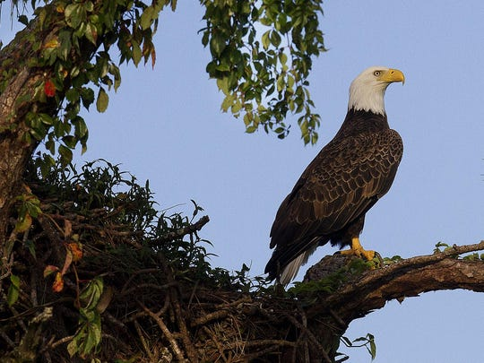 The famous North Fort Myers bald eagles nicknamed Ozzie