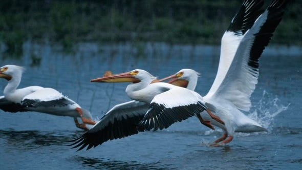 White pelicans are some of the interesting migratory birds that can be seen in Missouri in winter. Learn more about some of Missouri's best birding sites at a Jan. 13 Missouri Department of Conservation virtual program.