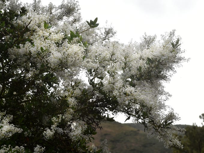 A Greenbark Ceanothus blooms along a trail at Point