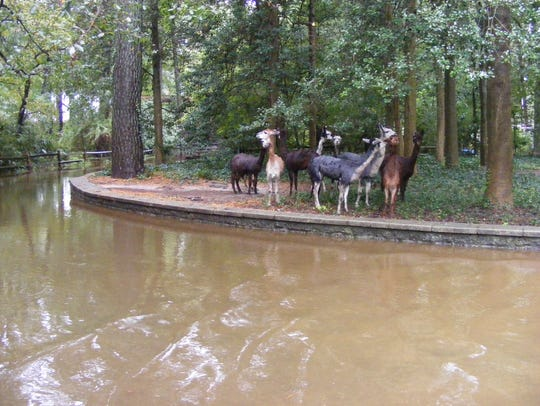 Alpacas stand on high ground during recent flooding