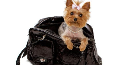 This Yorkshire terrier can fly with her owner in the airplane's cabin because the dog fits in a travel  carrier that can be placed under the seat in front of her owner.