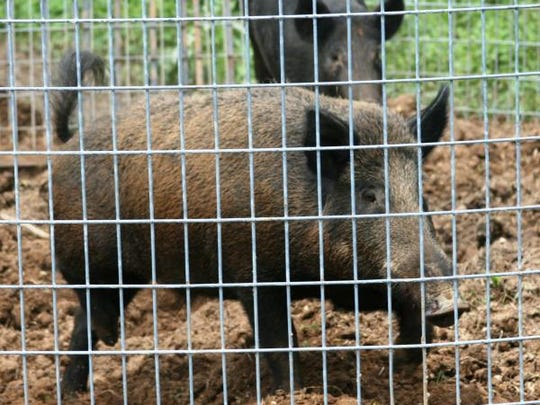 Feral hogs (shown here in a trap) damage wildlife habitats, compete with and prey upon native wildlife, destroy natural areas and agricultural land, pollute ponds and streams, and spread diseases, according to MDC.