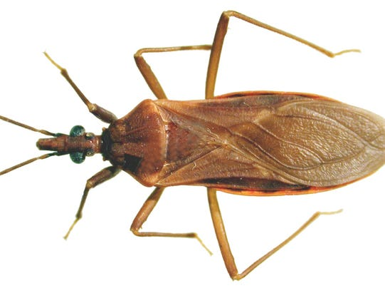 Bed Bugs Arizona University