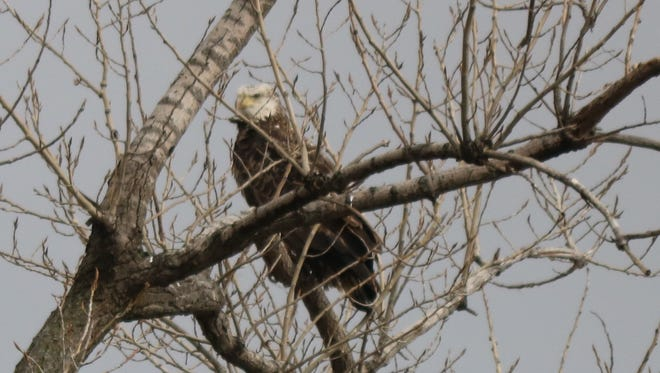 This older bald eagle lurks among the branches in a tall tree at the Ottawa National Wildlife Refuge.