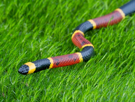 #stock Eastern Coral Snake Stock Photo