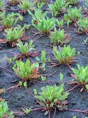 Yerba Mansa is a native plant.