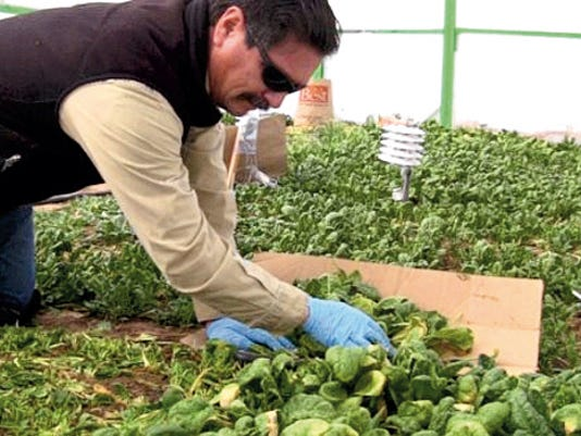 Jane Moorman - NMSU Photo   David Archuleta, farm and ranch supervisor at NMSU's Sustainable Agriculture Science Center at Alcalda, picks spinach during a study on growing winter greens in hoop houses. There will be a workshop on Friday, Jan. 16, at the science center to inform producers about the findings of the study.