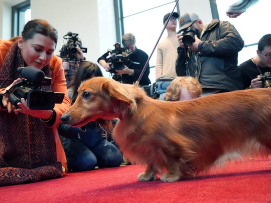 A Long Haired Dachshund poses for photos on the Top
