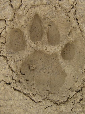 The leading toe and three lobes on the rear of the heel pad are two distinct features of a panther paw print.
