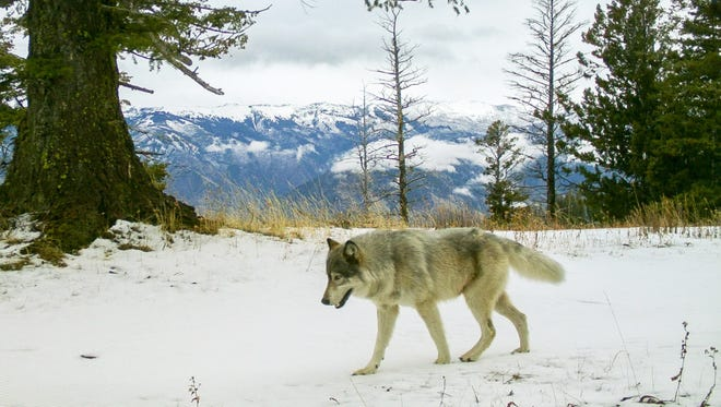 A wolf from the Snake River Pack passed a remote camera in eastern Wallowa County in 2014.