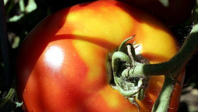 Ripening tomatoes can get very heavy on the vine. Stake and tie them now before the plants get out of control.