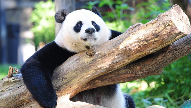 "This file photo taken on August 24, 2016 shows Giant panda Mei Xiang resting in her enclosure at the National Zoo in Washington, DC. Decades of conservation work in China have paid off for the giant panda, whose status was upgraded September 4, 2016 from ""endangered"" to ""vulnerable"" due to a population rebound, officials said. The improvement for the giant panda (Ailuropoda melanoleuca) was announced as part of an update to the International Union for Conservation of Nature (IUCN) Red List, the world's most comprehensive inventory of plants and animals.  AFP PHOTO / Karen BLEIER/Getty Images"