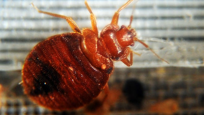 Bed bugs crawl around in a container on display during the National Bed Bug Summit in Washington, D.C., in 2011.