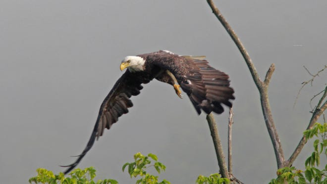 Reader Janie Ferguson captured this photo of a grand bald eagle along the Canisteo River this summer.