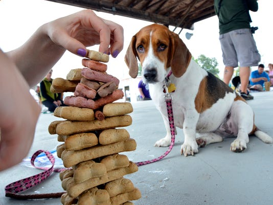 "Harley, a beagle/basset hound mix, watches as owner Rebecca Marburger of Aberdeen MD, stacks treats during the ""Temptation Tower"" contest at the 11th Annual Animal Rescue Inc.'s Dog Day in the Park at the Marge Goodfellow Park in New Freedom Saturday September 12, 2015. John A. Pavoncello - jpavoncello@yorkdispatch.com"