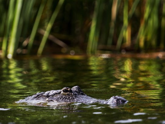gator1FILE.jpg