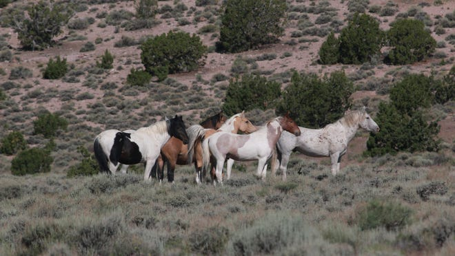 Wild horses roam the Frisco range in Milford on June 9, 2014. In 1971, the U.S. Congress passed legislation to protect, manage, and control wild horses and burros on the public lands.