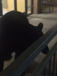 A black bear forages for food on the balcony of the