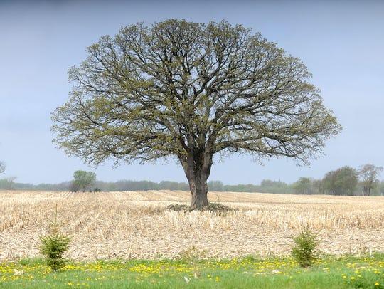 A majestic oak starts to leaf, the sentinel in a farm