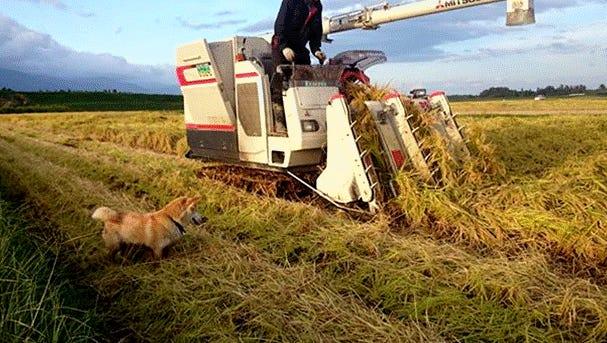 Nobuhiro Watanabe and dog Chino combined rice on Sado Island, Japan, last week.