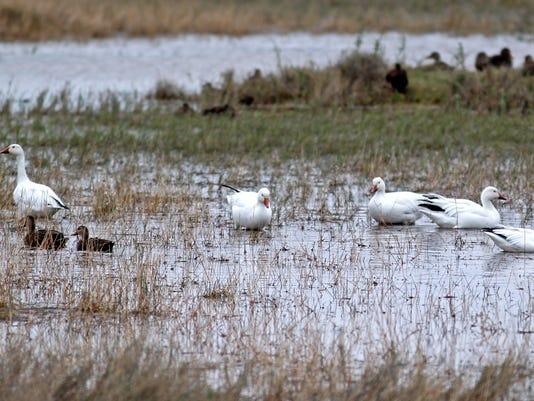 Snow-geese-mottled-7.jpg