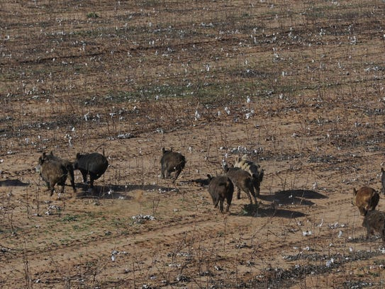 Feral hogs populations are exploding in Wichita County