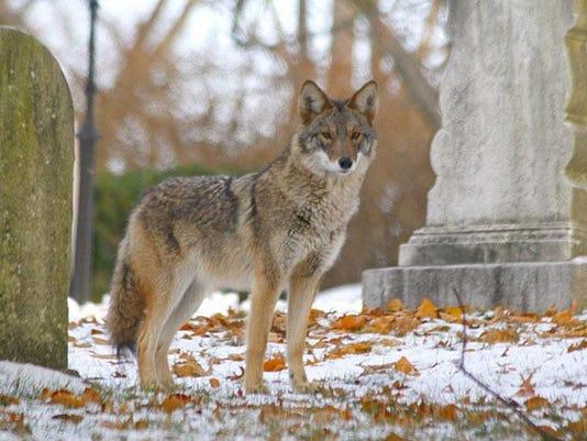 Bigger Coyotes