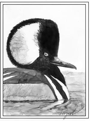 The hooded merganser on a pond.