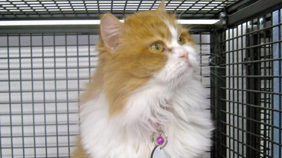 Goldie is a sweet-natured Persian mix.  Sun Cities
