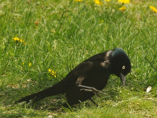 A grackle forages for seeds and grubs beneath a birdfeeder.