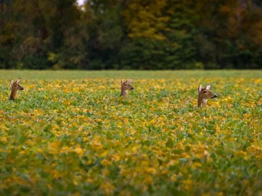 Three whitetail deer wait in a field for a yearling