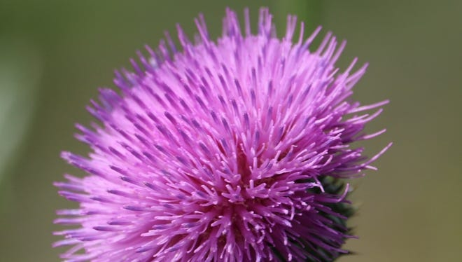 Thistle, with its spiky leaves and stems, is sometimes mistaken for a weed, until its beautiful, compound flowers emerge.