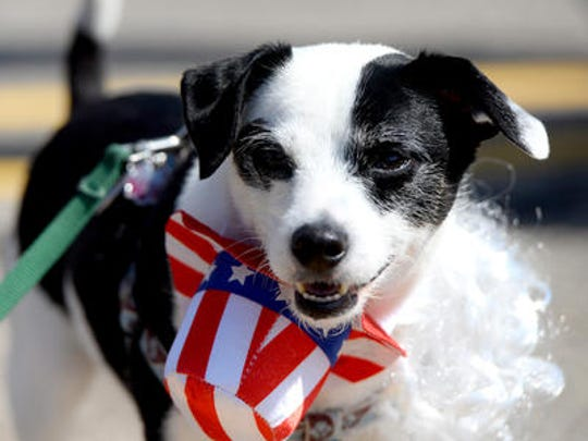 Sherman, a fox terrier mix, has a little bit of trouble with his Uncle Sam hat and beard Monday at the Lansing Fourth of July parade in downtown Lansing.