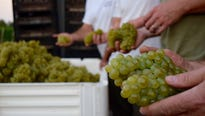 Grapes harvested from four New Jersey wineries are combined and become four distinct wines in Open Chardonnay project from Winemakers Co-Op