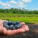 "Blueberries have subtle differences in taste depending on their variety. <br /> For this story and more stories and photos, see the June issue of Pensacola Home and Garden Magazine, and go to <a href=""http://www.PensacolaHG.com"">www.PensacolaHG.com</a>."