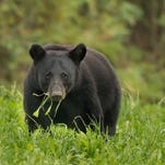 Two Mississippi men have been sentenced for their role in a Louisiana black bear killing and a third faces sentencing in September.
