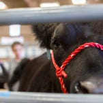 Jimmy, a steer, rests in the livestock barn as he is cleaned by his owner, Austin Schuett.