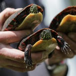 What scientists can learn from turtles