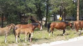 Members of one of the wild horse herds in Alto visit welcoming neighbors.