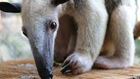 """Roger Williams Park Zoo has said goodbye to """"Frankie,"""" one of their tamanduas, a type of anteater known as """"stinkers of the forest."""""""