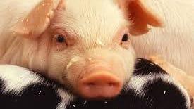 Pig (AP Photo)