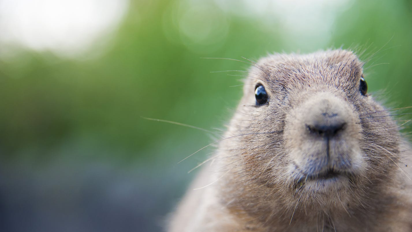 5 awesome facts about groundhog day