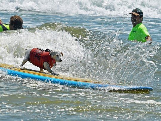 Surf Pig, a three-legged Jack Russell Terrier, stole the show at the 2018 dog surfing event and then came back last year and won Top Overall Dog honors. This year's Easter Pro/Am was going to be dedicated to the popular dog, who died earlier this year.