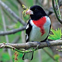 Rose-breasted grosbeaks return to this area from the tropics in May.