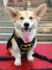 Welsh corgi, Wally, dressed in a Batman costume for Halloween in New York.