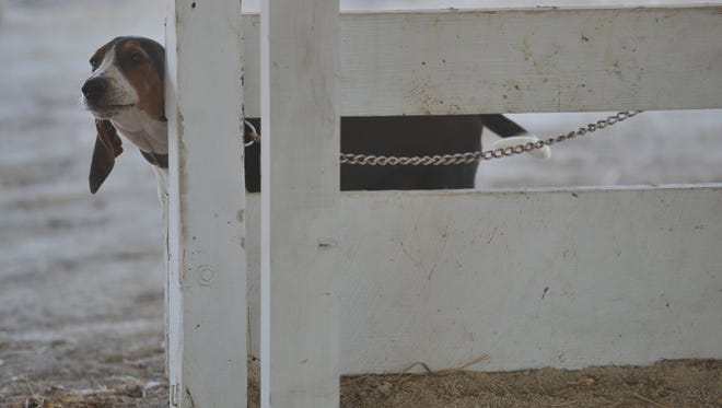 A dog peeks around a fence at the Wayne County Fairgrounds.