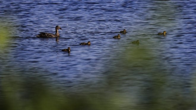 A mallard duck and her ducklings feed near Kimberly Point Park on Lake Winnebago in Neenah.