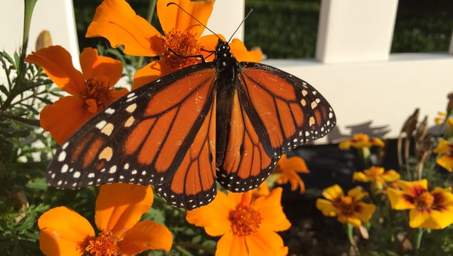 A monarch butterfly hovers on a flower.