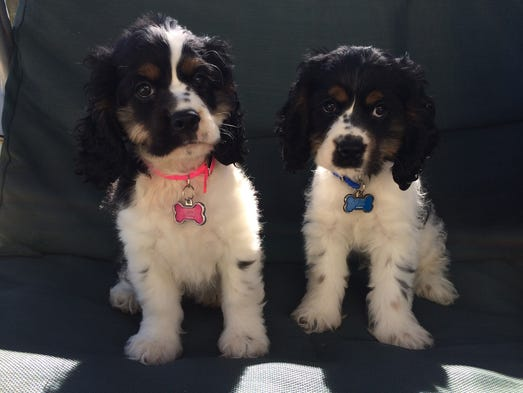 Cocker spaniels Milo and Roxie love sitting on the